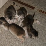 Leonora's First Litter 01